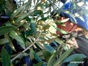 mum in olive tree_kangouro